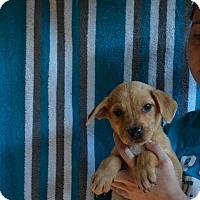 Adopt A Pet :: Dakota - Oviedo, FL