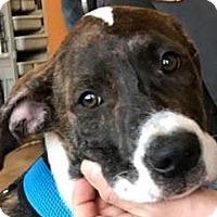 Adopt A Pet :: CAMILLE - Westmont, IL