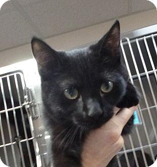 Domestic Shorthair Kitten for adoption in St. Petersburg, Florida - Bill