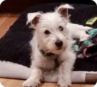 Westie, West Highland White Terrier Puppy for adoption in Omaha, Nebraska - Ozzie