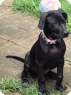 Labrador Retriever Mix Dog for adoption in Hagerstown, Maryland - Hannah