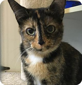 Domestic Shorthair Cat for adoption in Port Hope, Ontario - Taffy