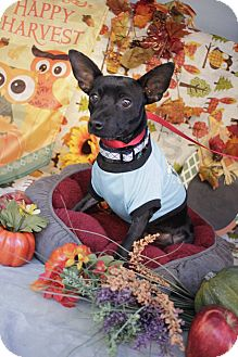 Chihuahua/Rat Terrier Mix Dog for adoption in Houston, Texas - Dude