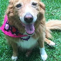 Adopt A Pet :: Bella, Golden mix - Atlanta, GA