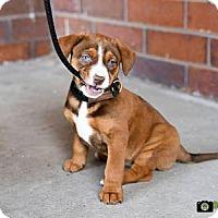 Adopt A Pet :: Pitbull Mix Puppies - Cokato, MN