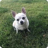 Adopt A Pet :: Chubby - Las Vegas, NV