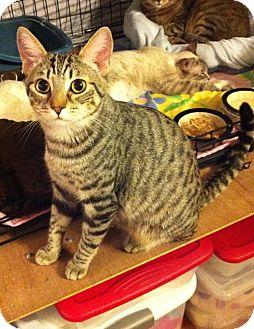 Domestic Shorthair Cat for adoption in Long Beach, California - Blake