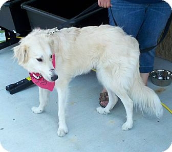 Great Pyrenees Dog for adoption in Croydon, New Hampshire - Daphne