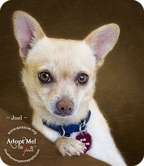 Chihuahua Mix Dog for adoption in Phoenix, Arizona - Joel