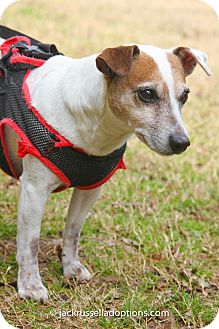 Jack Russell Terrier Dog for adoption in Conyers, Georgia - Cobb