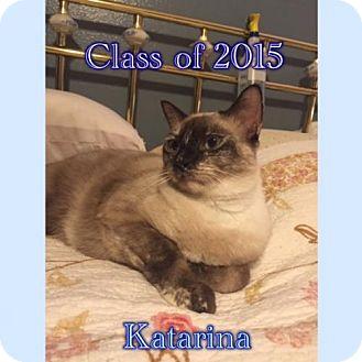 Siamese Cat for adoption in Houston, Texas - Katarina