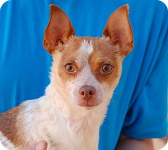 Chihuahua Mix Dog for adoption in Las Vegas, Nevada - James Dean