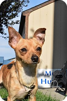 Chihuahua Mix Dog for adoption in Meridian, Idaho - Reagan