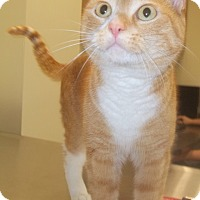 Domestic Shorthair Cat for adoption in Duluth, Minnesota - Sassy