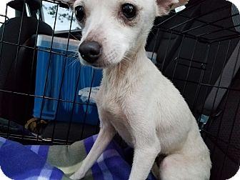 Chihuahua/Italian Greyhound Mix Dog for adoption in Houston, Texas - Winter