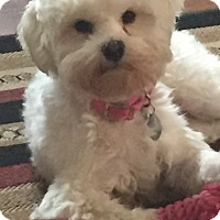 Maltese/Poodle (Miniature) Mix Dog for adoption in San Diego, California - Maura