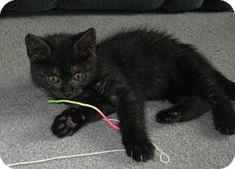 Domestic Shorthair Kitten for adoption in Kirkwood, Delaware - Precious