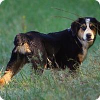 Adopt A Pet :: *Blossom - PENDING - Westport, CT