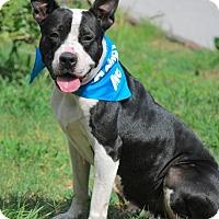 American Bulldog Mix Dog for adoption in Boston, Massachusetts - Bunny