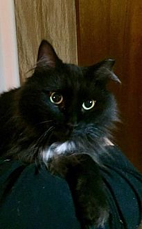 Domestic Longhair Cat for adoption in Essington, Pennsylvania - Debbie