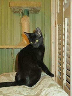 Domestic Shorthair Cat for adoption in Houston, Texas - Sean