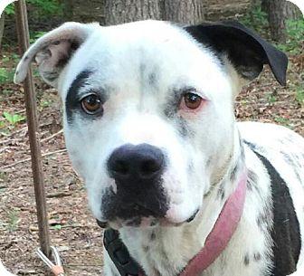 Bulldog/Dalmatian Mix Dog for adoption in Washington, D.C. - Pongo