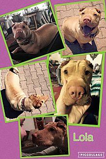 Shar Pei Mix Dog for adoption in Scottsdale, Arizona - Lola