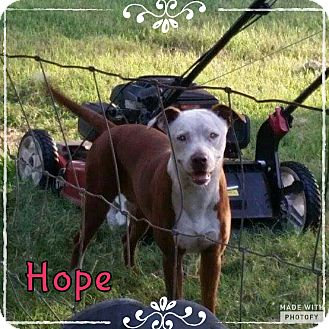 American Pit Bull Terrier Mix Dog for adoption in Rowlett, Texas - Hope