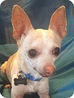 Chihuahua Dog for adoption in San Leandro, California - Lupita