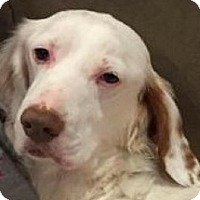 English Setter Dog for adoption in Pine Grove, Pennsylvania - BRADY