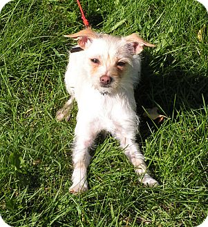 Terrier (Unknown Type, Small) Mix Dog for adoption in Rigaud, Quebec - Honey