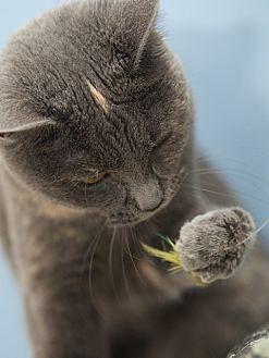 Domestic Shorthair Cat for adoption in LaGrange, Kentucky - Pearl