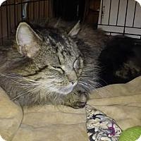 Adopt A Pet :: Emmett mainecoon - Clay, NY