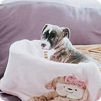 Adopt A Pet :: Morgan - Boston, MA