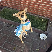 Chihuahua/Terrier (Unknown Type, Small) Mix Dog for adoption in Encino, California - Bubbles