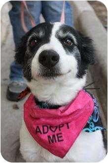 Border Collie Dog for adoption in Arlington, Texas - Nana