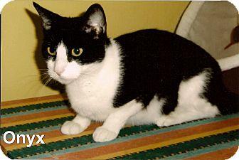 Domestic Shorthair Cat for adoption in Medway, Massachusetts - Onyx