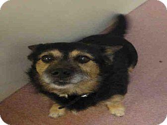 Norwich Terrier Dog for adoption in Ogden, Utah - OTTO