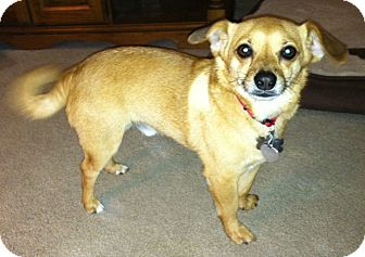 Chihuahua/Pomeranian Mix Dog for adoption in Hagerstown, Maryland - Bernie