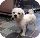 Bichon Frise Mix Dog for adoption in Tinton Falls, New Jersey - Elliott