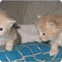 Adopt A Pet :: Jennifers Male kitts - Cincinnati, OH