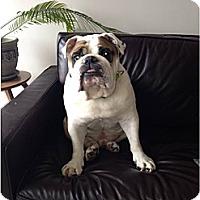 Adopt A Pet :: Buddha Bear - Decatur, IL