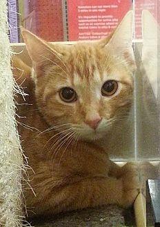 Domestic Shorthair Cat for adoption in McKinney, Texas - Elijah