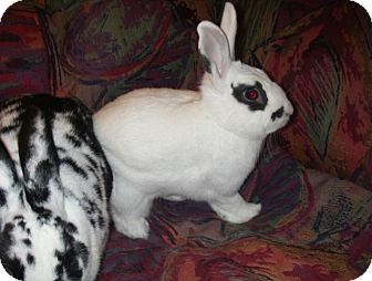 Dwarf Hotot Mix for adoption in Los Angeles, California - Sasha