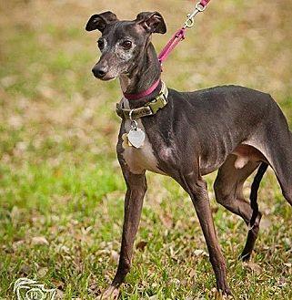 Italian Greyhound Mix Dog for adoption in Argyle, Texas - Tevi in San Antonio
