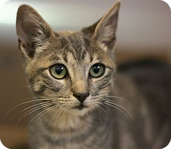 Domestic Shorthair Kitten for adoption in Canoga Park, California - Oliver