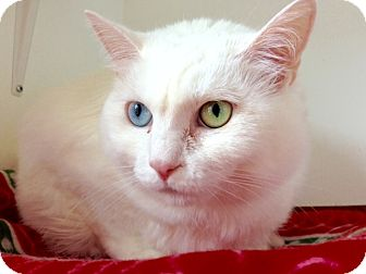 Domestic Shorthair Cat for adoption in Rochester, New York - Luna