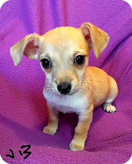 Spaniel (Unknown Type)/Chihuahua Mix Puppy for adoption in Los Angeles, California - Jelly Bean