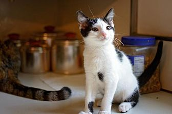 Domestic Shorthair Cat for adoption in Westminster, Maryland - Tucker