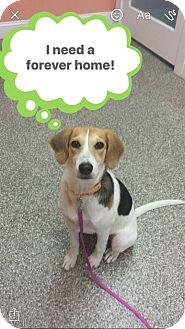 Beagle Mix Dog for adoption in Atlantic, North Carolina - Roxy
